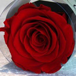6cm Rossa Cubo Rosa Stabilizzata rossa, in cubo trasparente apribile, Eterna dura più di 5 Anni, ottimo come Regalo e Bomboniera confezionata in scatola Bianca