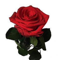 Decoflorales® – Rosa stabilizzata, rossa – Altezza 25-27 cm – La Rosa eterna