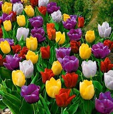 32 Bulbi di tulipani colori misti