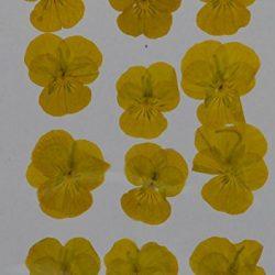 handi-kafu giallo ortensia vera premuto fiori secchi