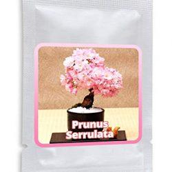 20 Semi Acero rosso giapponese – semi di foglie d'acero – (Acer palmatum atropurpureum) – Coltivabile come un albero o bonsai