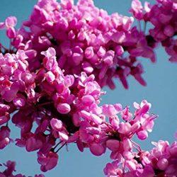 Pianta di Cercis siliquastrum, Albero di Giuda, Fiore rosa – lilla in vaso ø 18