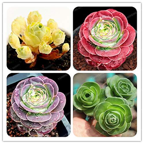 Sump dolce 100 SEMI Pz Greenovia dei fiori per la semina