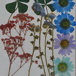 handi-kafu Veri fiori secchi pressati, margherita, gipsofila, myosotis 2