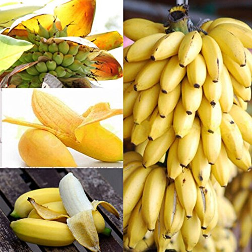 Sementi di Albero Banane Nane Banana Dwarf Semi di Frutta Fiori Rari Fiori Piante per Orto Giardino Balcone Interni ed Esterni nana Banane Tree Bananas – 100pz