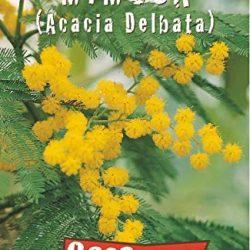 Semi – Mimosa (Acacia Delbata)