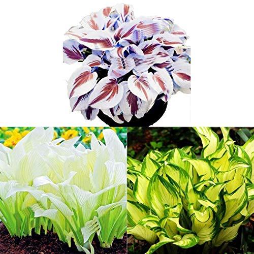 AIMADO sementi giardino – Rara Sempreverdi Heuchera in miscuglio semi sementi da fiore giardino resistenza al freddo Pianta perenne 2