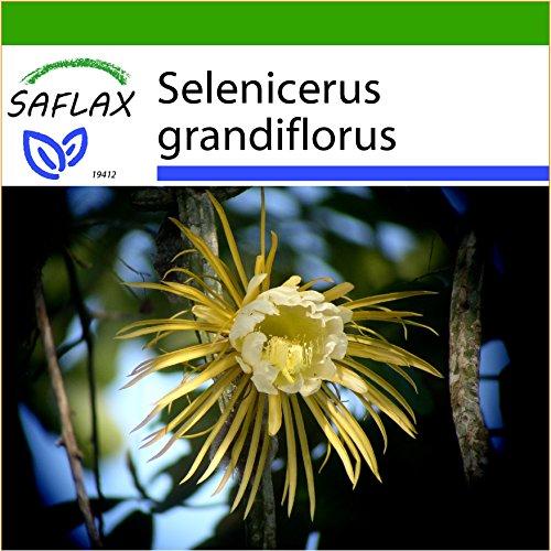 SAFLAX – Regina della notte – 40 semi – Con substrato – Selenicerus grandiflorus
