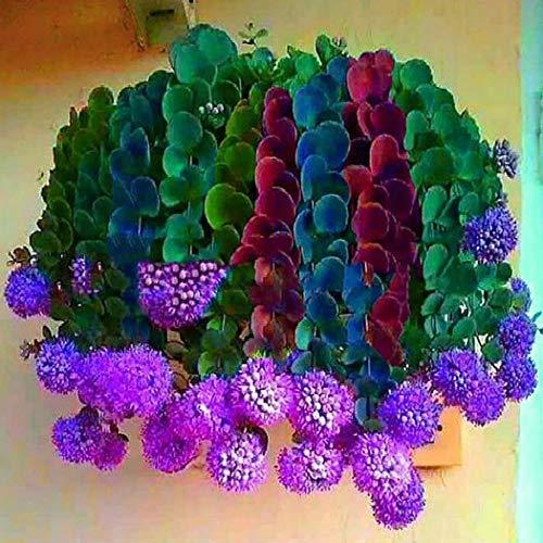 Pianta Grassa Aeonium Arboreum