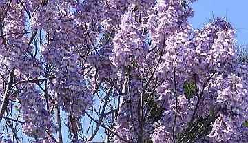 Asklepios-seeds® – 500 Semi di Paulownia elongata