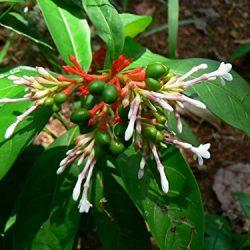 Asklepios-seeds® – 30 Semi di Rauwolfia serpentina, Rauvolfia serpentina