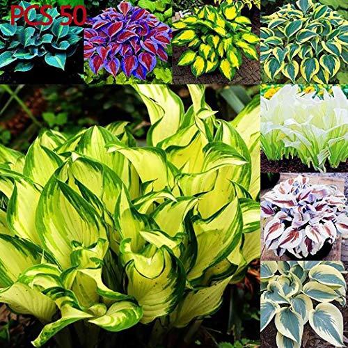 AIMADO sementi giardino – Rara Sempreverdi Heuchera in miscuglio semi sementi da fiore giardino resistenza al freddo Pianta perenne