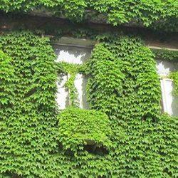 Semi di Edera, Semi Edera Rampicante Ghirlanda Verde Anti-radiazioni raggi ultravioletti piante bonsai piante rampicanti Semi per Balconi, Giardino, Cortile, Casa – 40 pz
