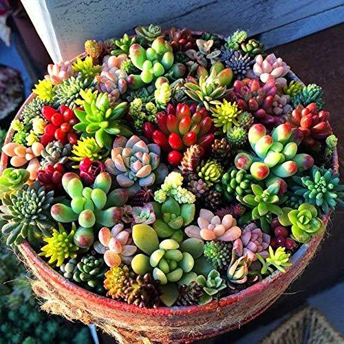 TOMASA Seedhouse- 100pcs Mini semi di piante grasse Mix Hardy Pianta dei semi perenne Balcone Giardino Piante da interno Pianta di erbe succulente