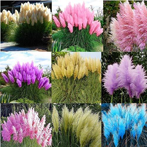 Cioler Seme di fiore- 100pcs Semi di pampa piante ornamentali- rari Pampas grass seedsemi di piante da giardino decorazione semi di piante