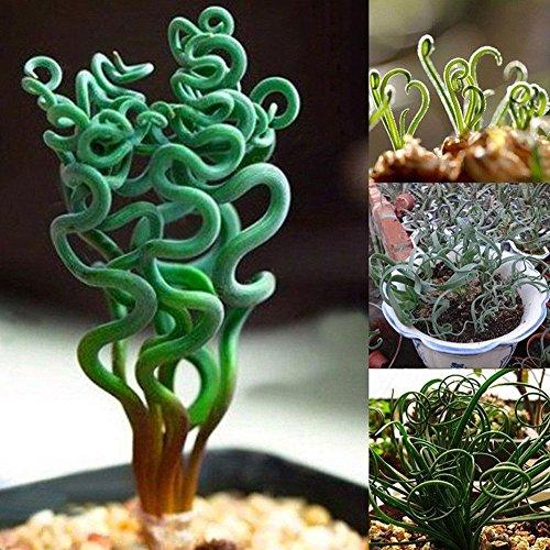 Succulente Piante Lithops Pseudotruncatella Semi Cactus e Piante Grasse per Bonsai, Balcone, Casa, Giardino Ornamento – Misto 100 Semi