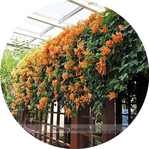 PLAT FIRM Germinazione dei Semi: Cinese raro Arancione Pyrostegia venusta perenne pianta rampicante Seeds 5 Seeds