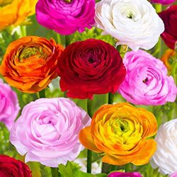 Ranuncolo in miscuglio – 10 Tuberi bulbi Ranunculus in miscuglio – BULBI DA FIORE PRIMAVERILI